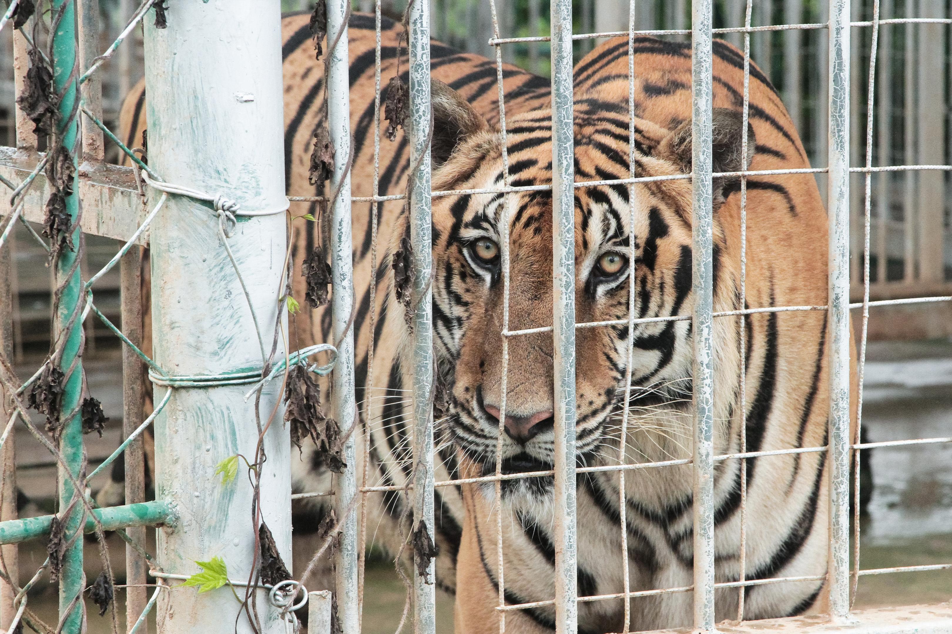 A Tiger farm in Laos (Environmental investigation Agency)