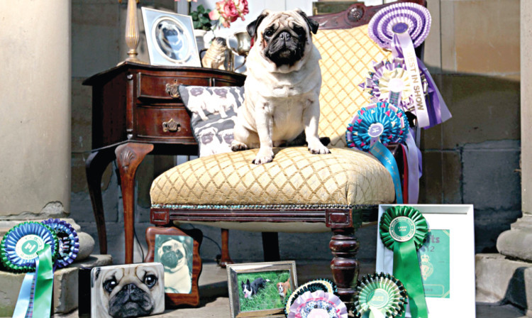 Is Mr Darcy Britain S Most Pampered Dog Sunday Post