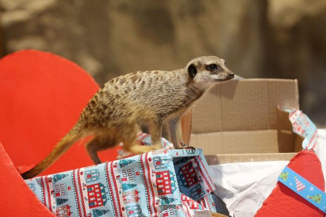 Edinburgh Zoo meerkats