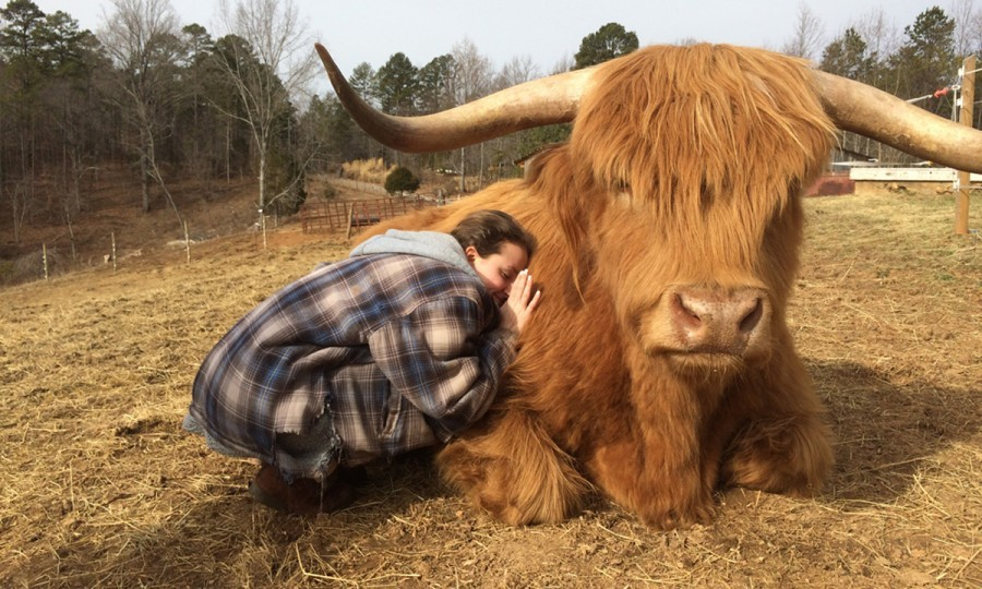 highland cows are newest trend as pets in the us sunday post blue bell logo blue bell logo