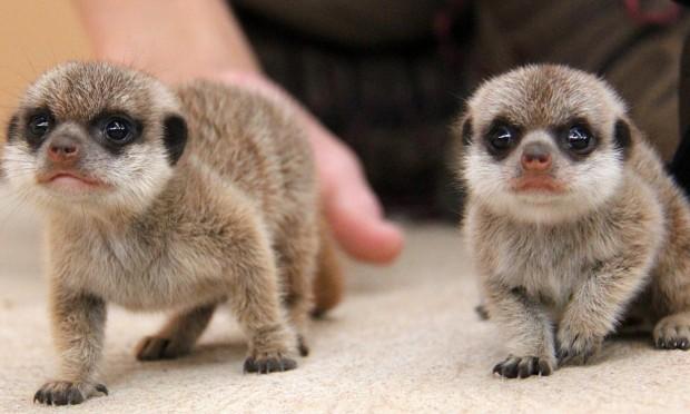 Meerkat pups (Paul Fahy)