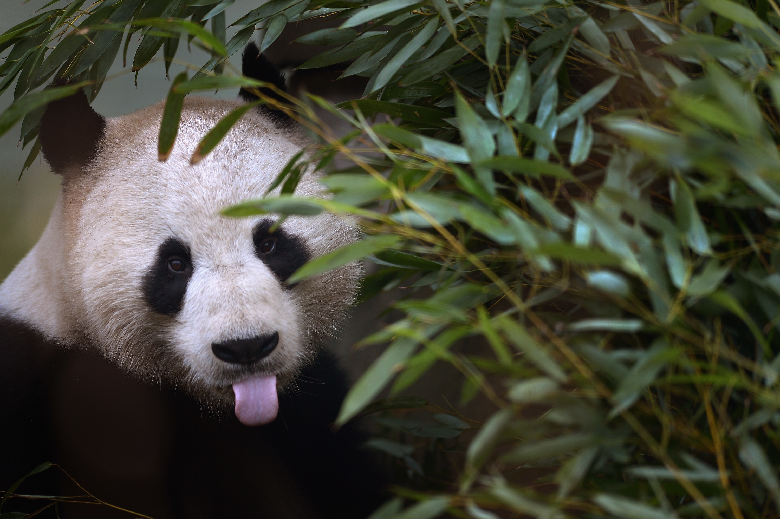 Yang Guang (male giant panta) (Jeff J Mitchell/Getty Images)