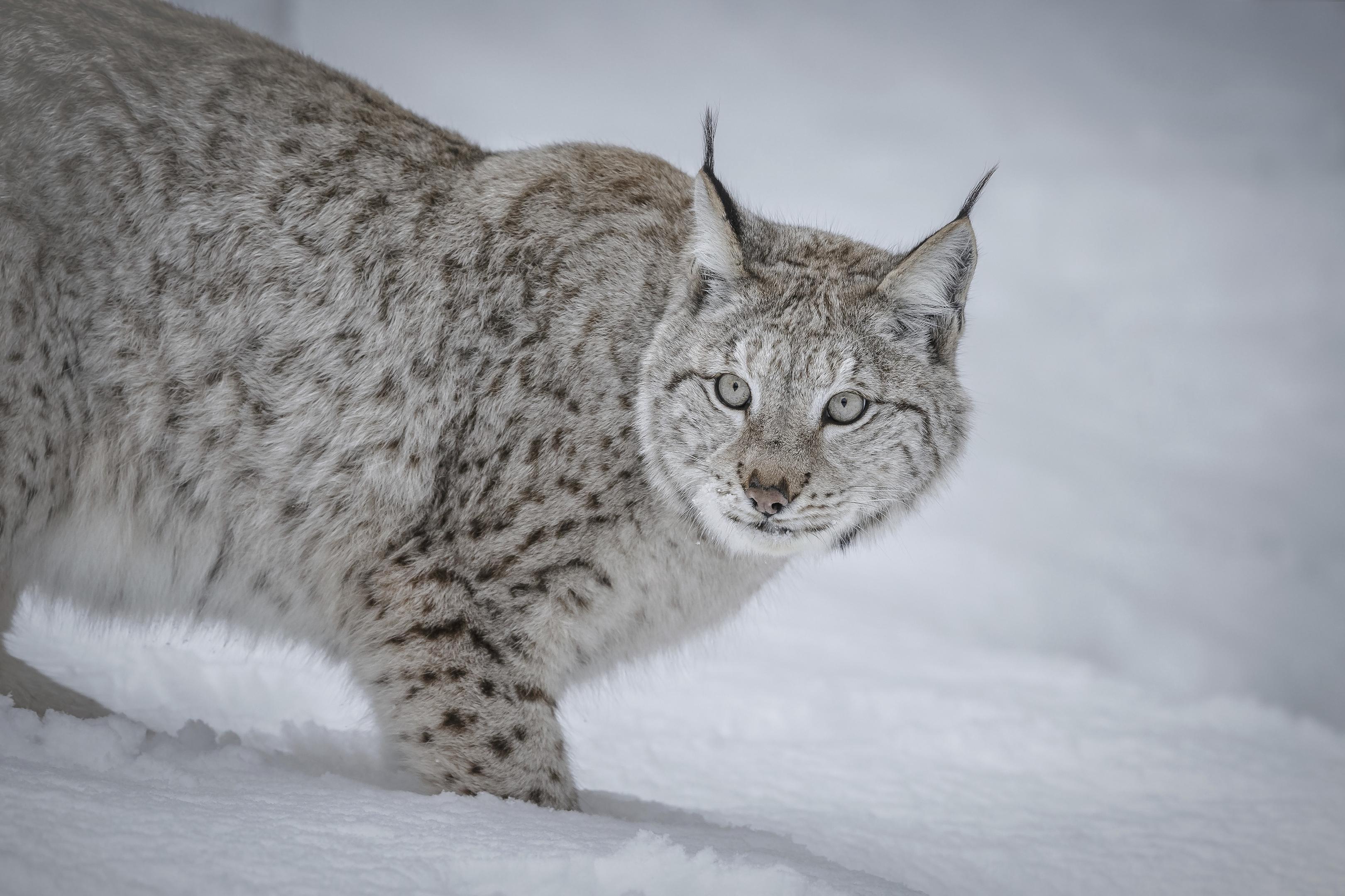 A European lynx (Neil Burton)
