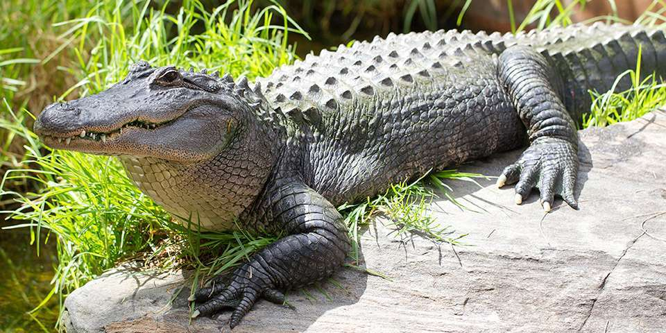 Alligators do not live in New York sewers..