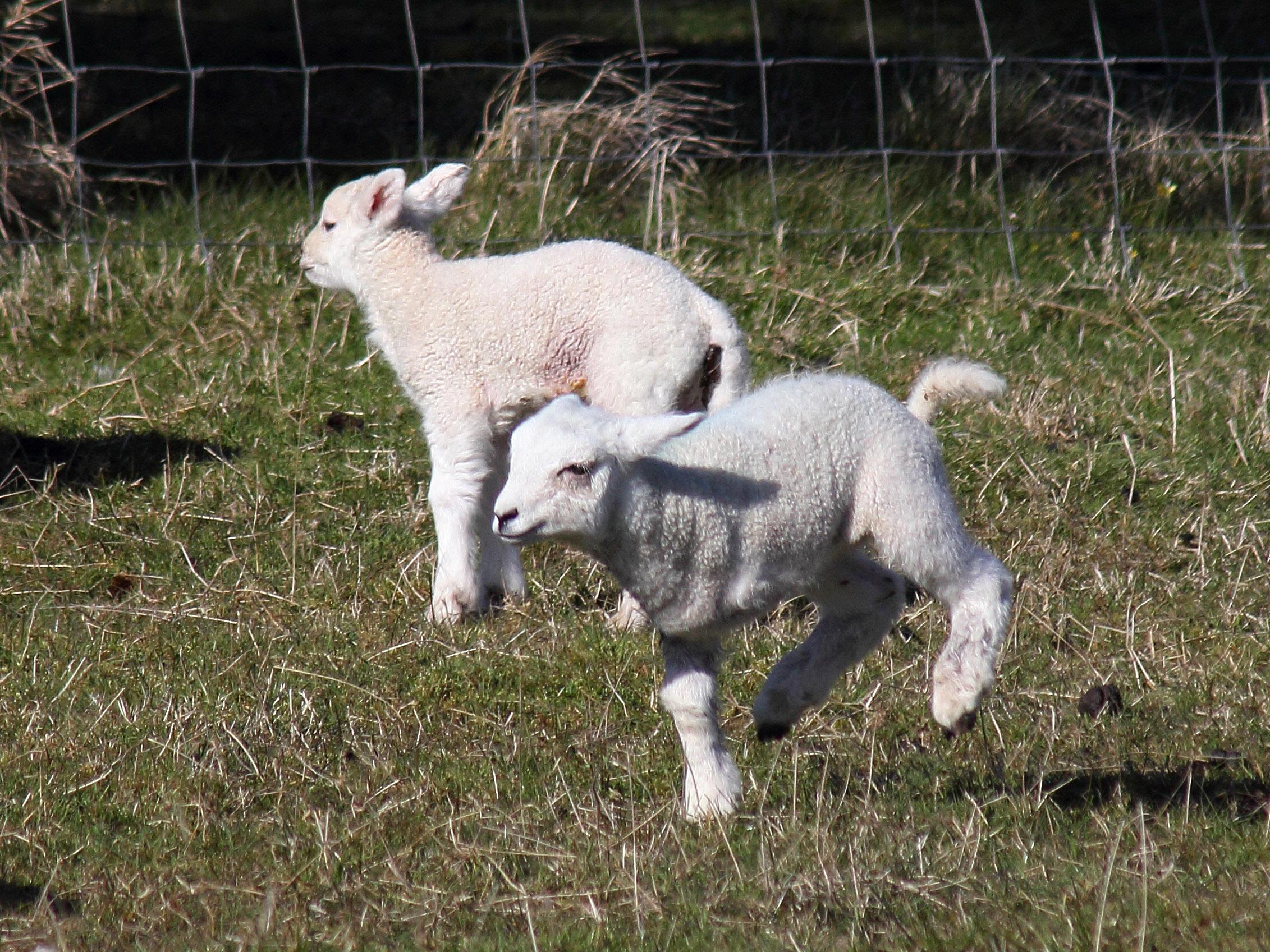Tripod, the three legged lamb from Skye (Gordon Willoughby)