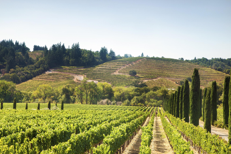 Ripe Wine Grapes on the Vine near Napa Valley, California (Jes Studio)