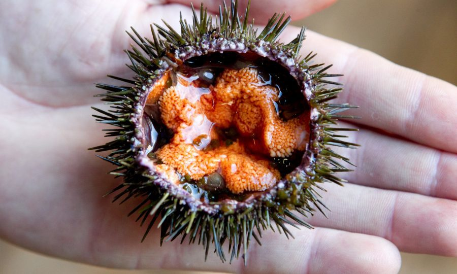 do you fancy norwegian sea urchins for dinner sunday post