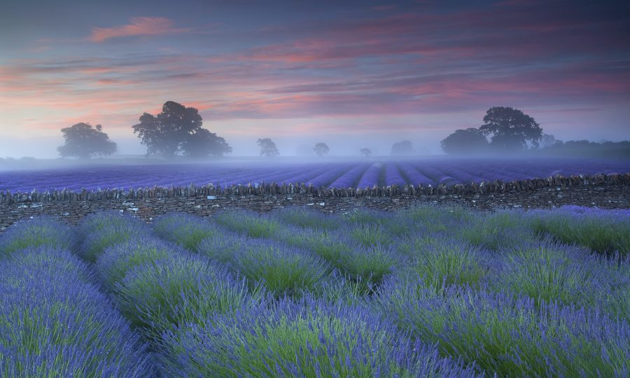 Lavender fields in Somerset (Antony Spencer)