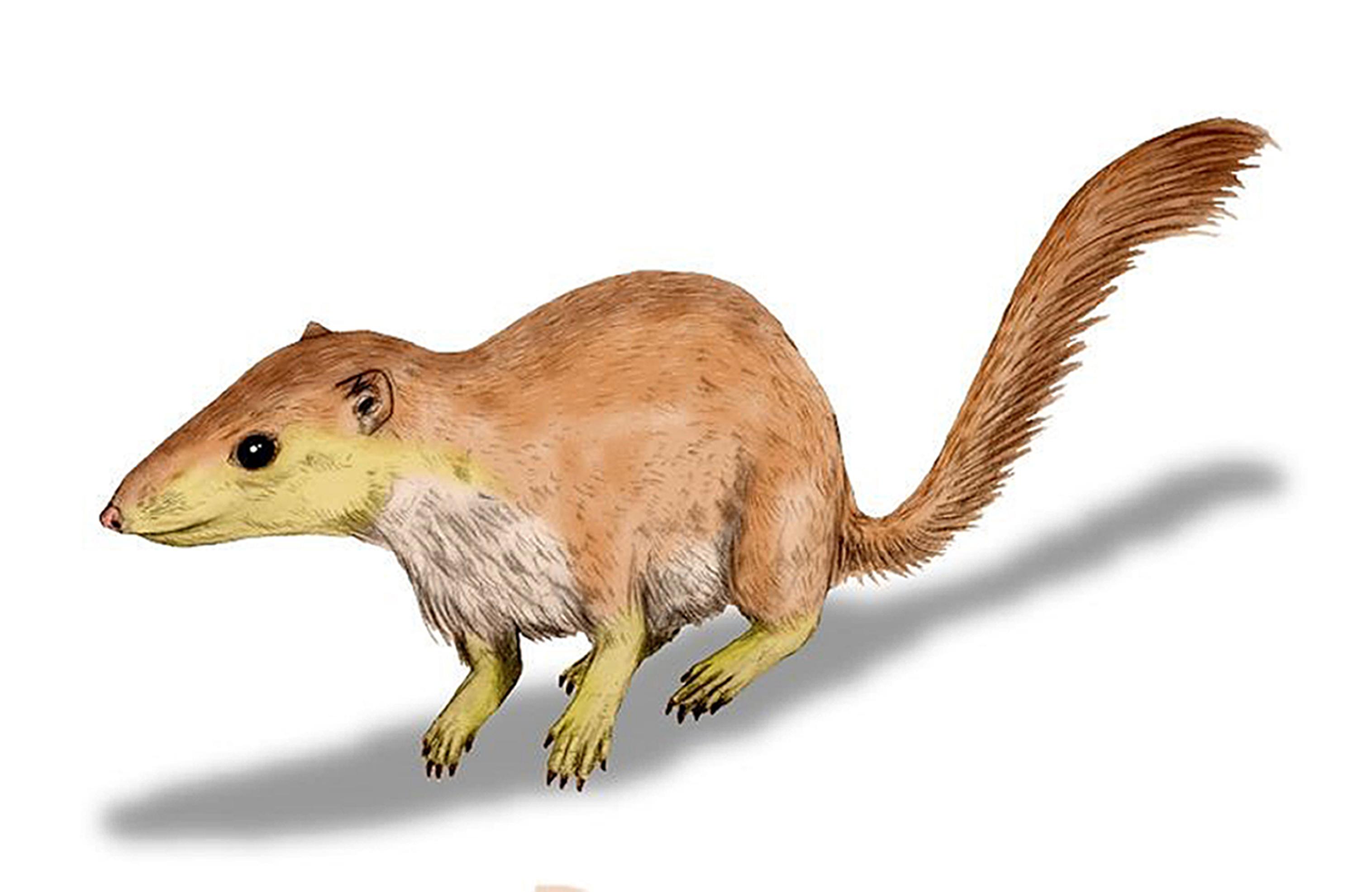 A reconstruction of early mammal Purgatorius unio (Nobu Tamura/University of Southampton/PA Wire)