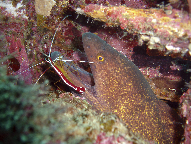 Cleaner fish (Daniel Gustvasson)