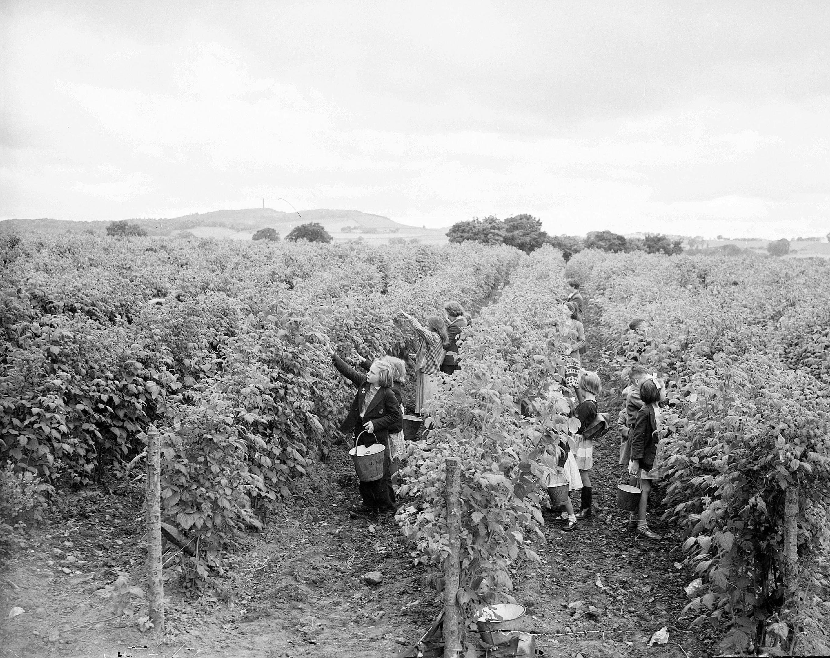 Children berry-picking at Gilliesfaulds Fruit Farm near Cupar, Edinburgh