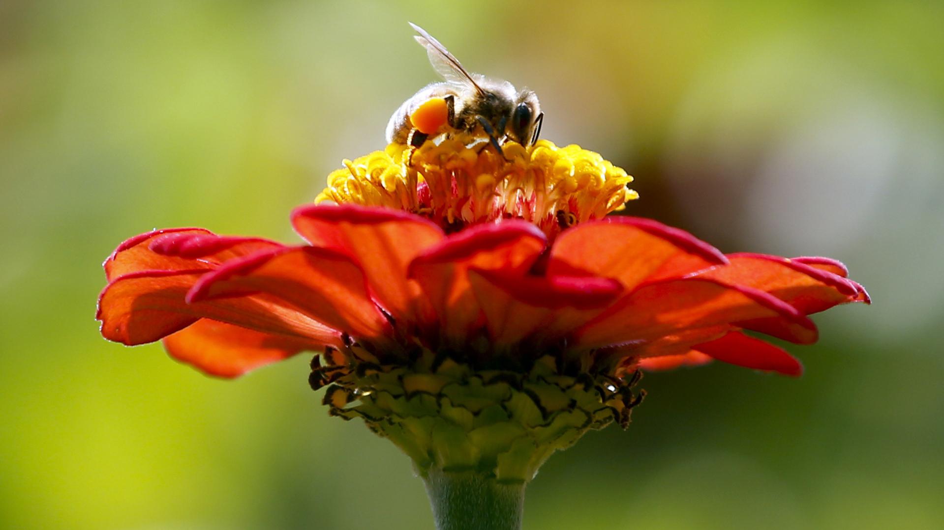 Honeybee (AP Photo/Mike Groll, File)