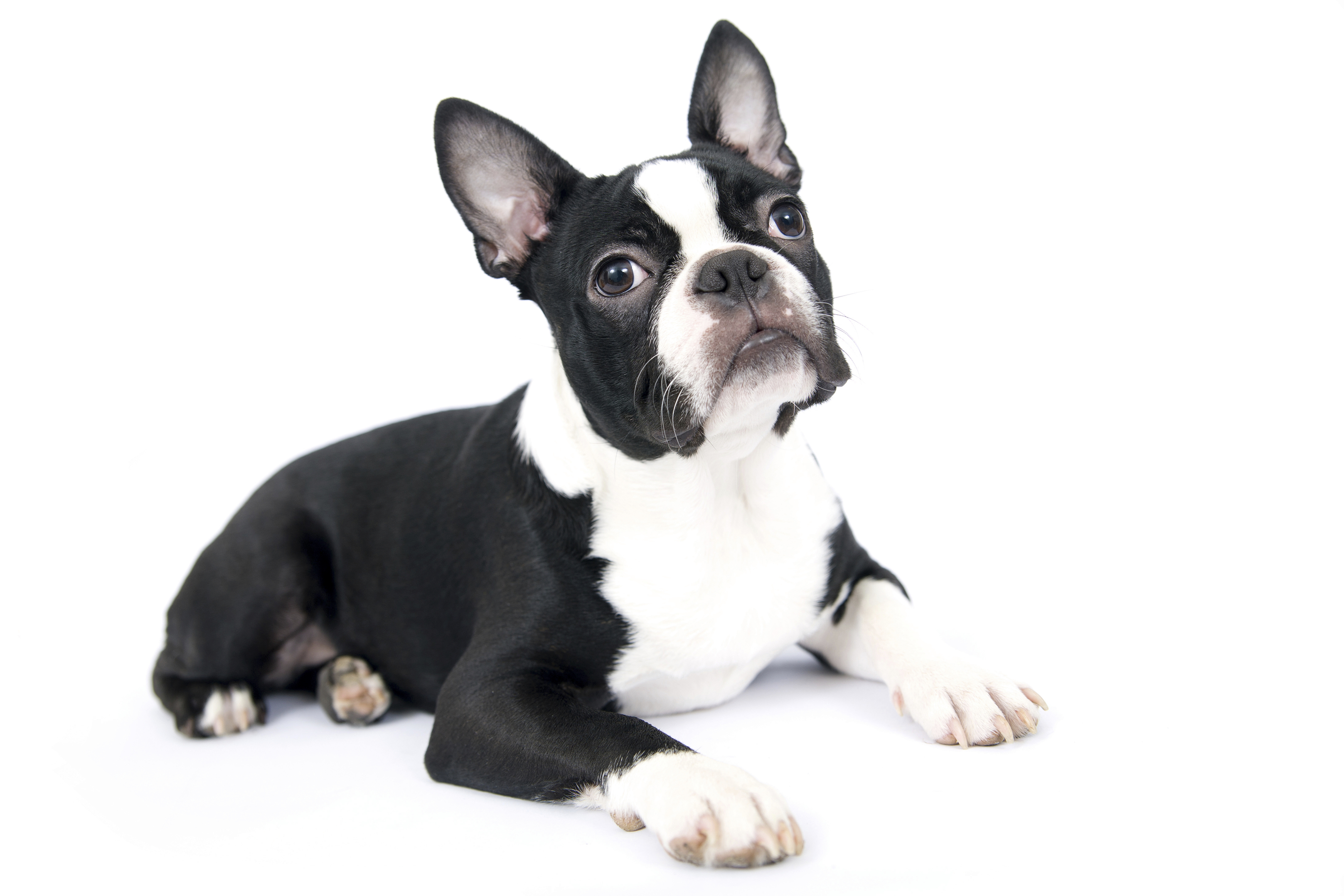 boston terrier cost handbag dogs are being abandoned by owners who can t 5352