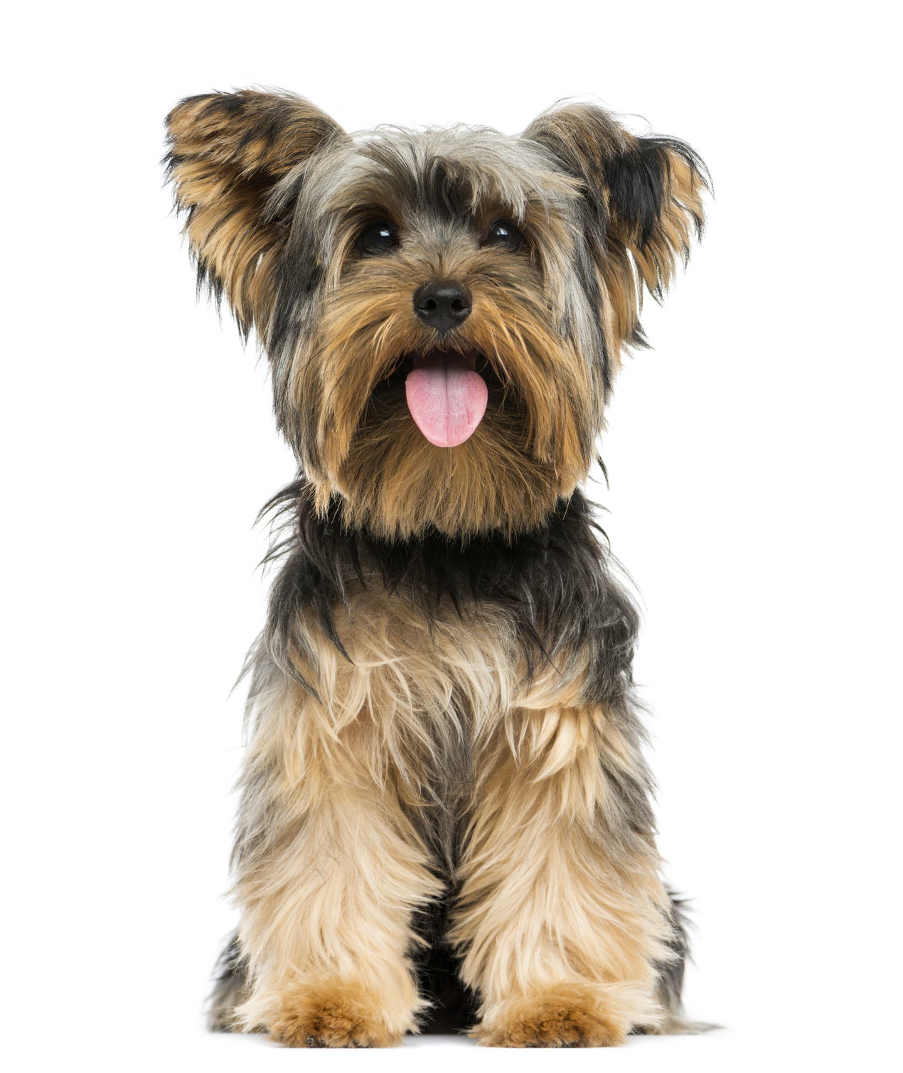 Yorkshire Terrier Kidney Failure Handbag dogs are being...