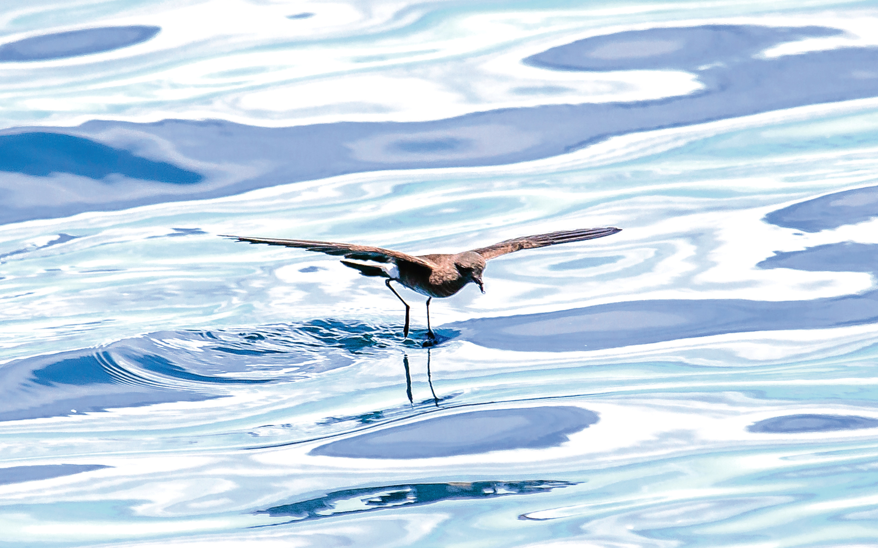 The storm petrel is a fascinating seabird (Getty Images)