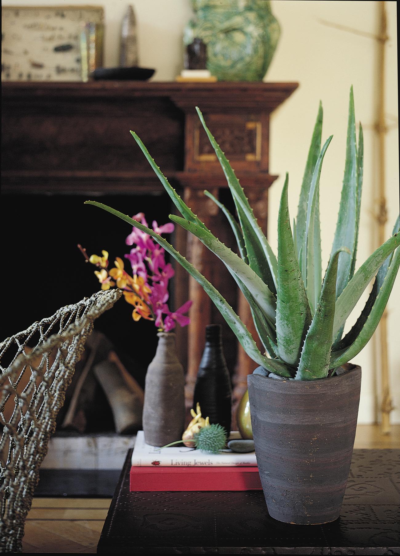 Aloe spider, £4.99 (Wyevale Garden Centres)