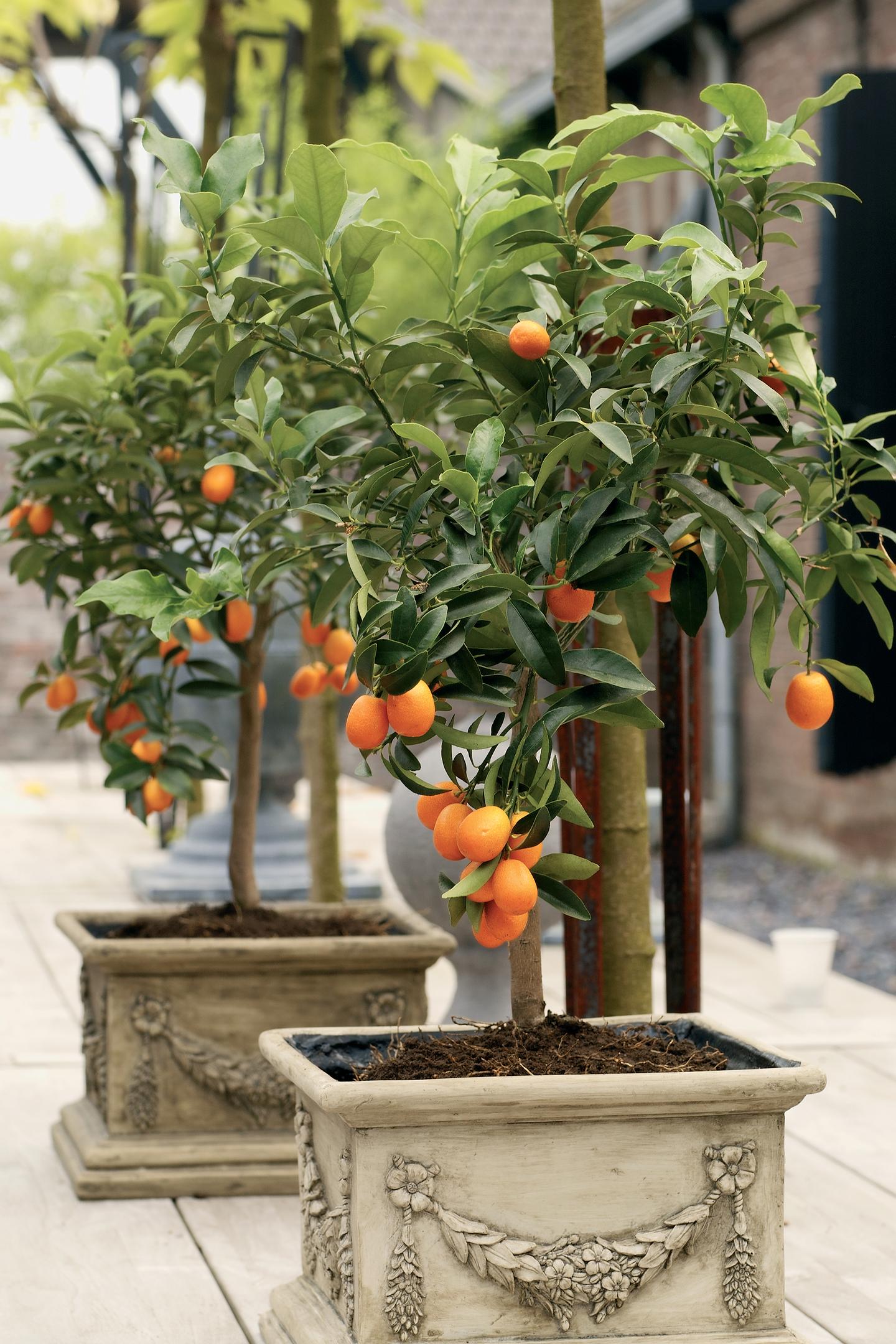 Citrus kumquat, from £34.99 (Wyevale Garden Centres)