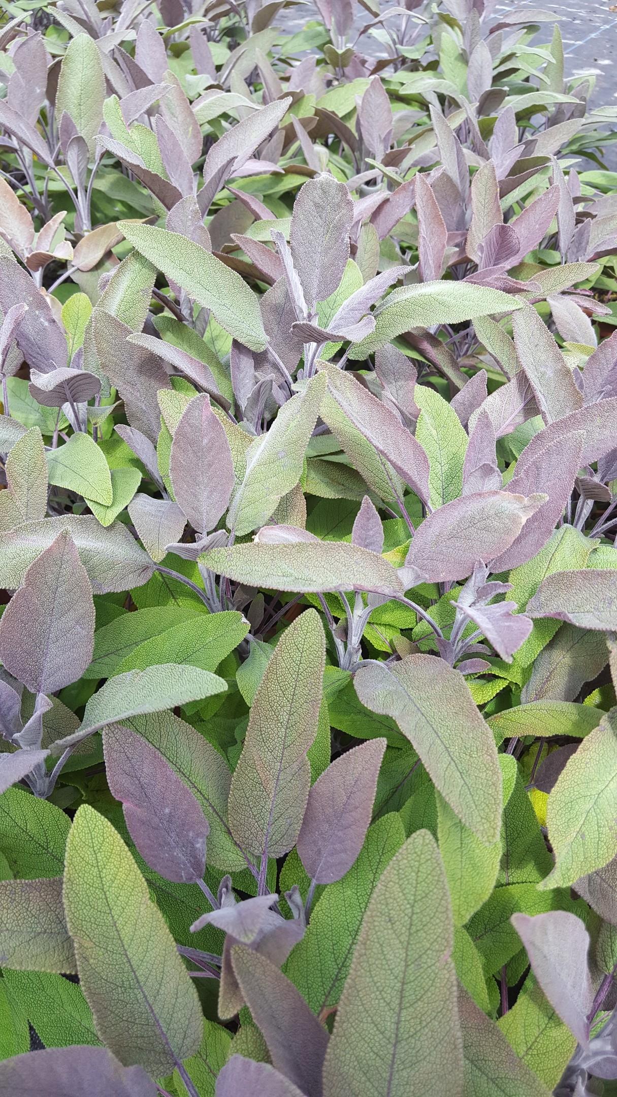 Purple sage, from £2.99 (Wyevale Garden Centres)