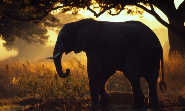 African elephant in Zimbabwe (Martin Harvey/WWF/PA Wire)