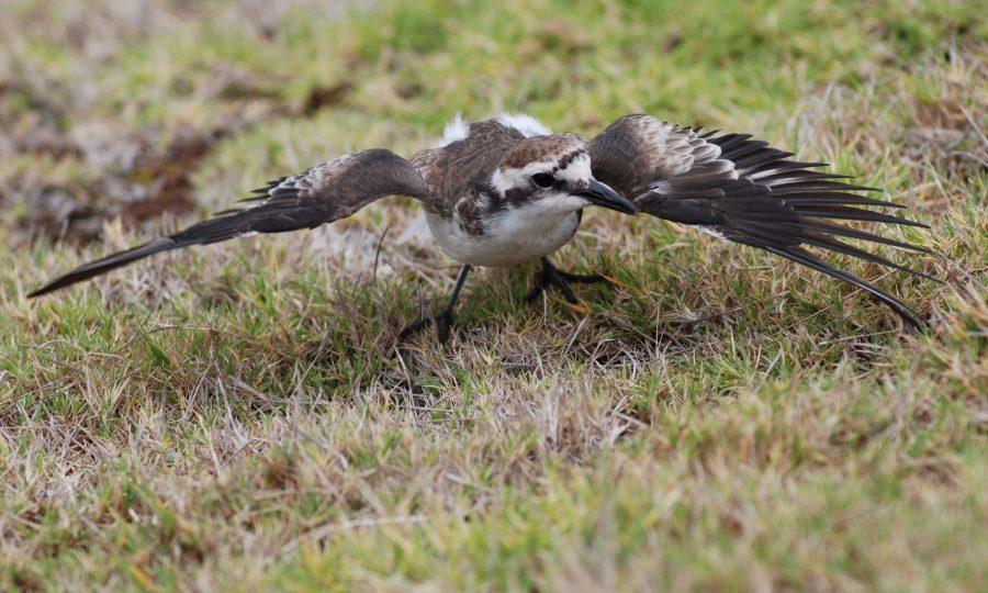 St Helena plover (Gavin Ellick/RSPB/PA Wire)