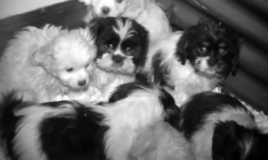 Still from footage of puppies huddled together in the Fivemiletown facility