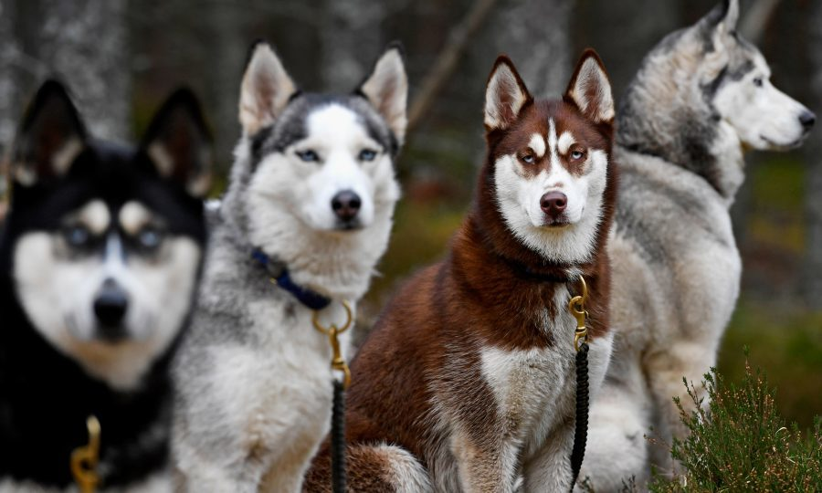 Huskies wait for practice at a forest course ahead of the Aviemore Sled Dog Rally (Photo by Jeff J Mitchell/Getty Images)