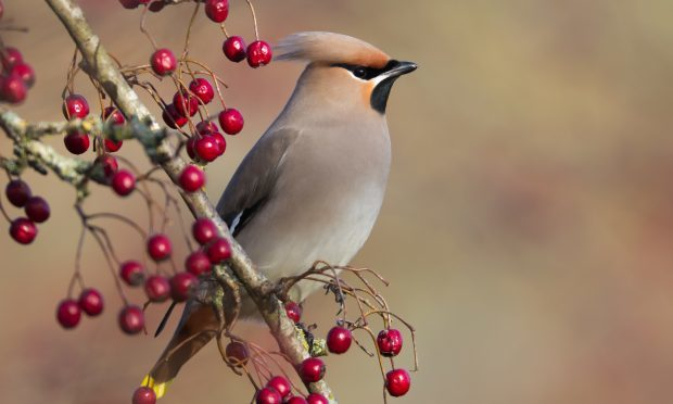 There have been reports of hundreds of waxwings, arriving along the east coast from Scandinavia (iStock, mille19 )