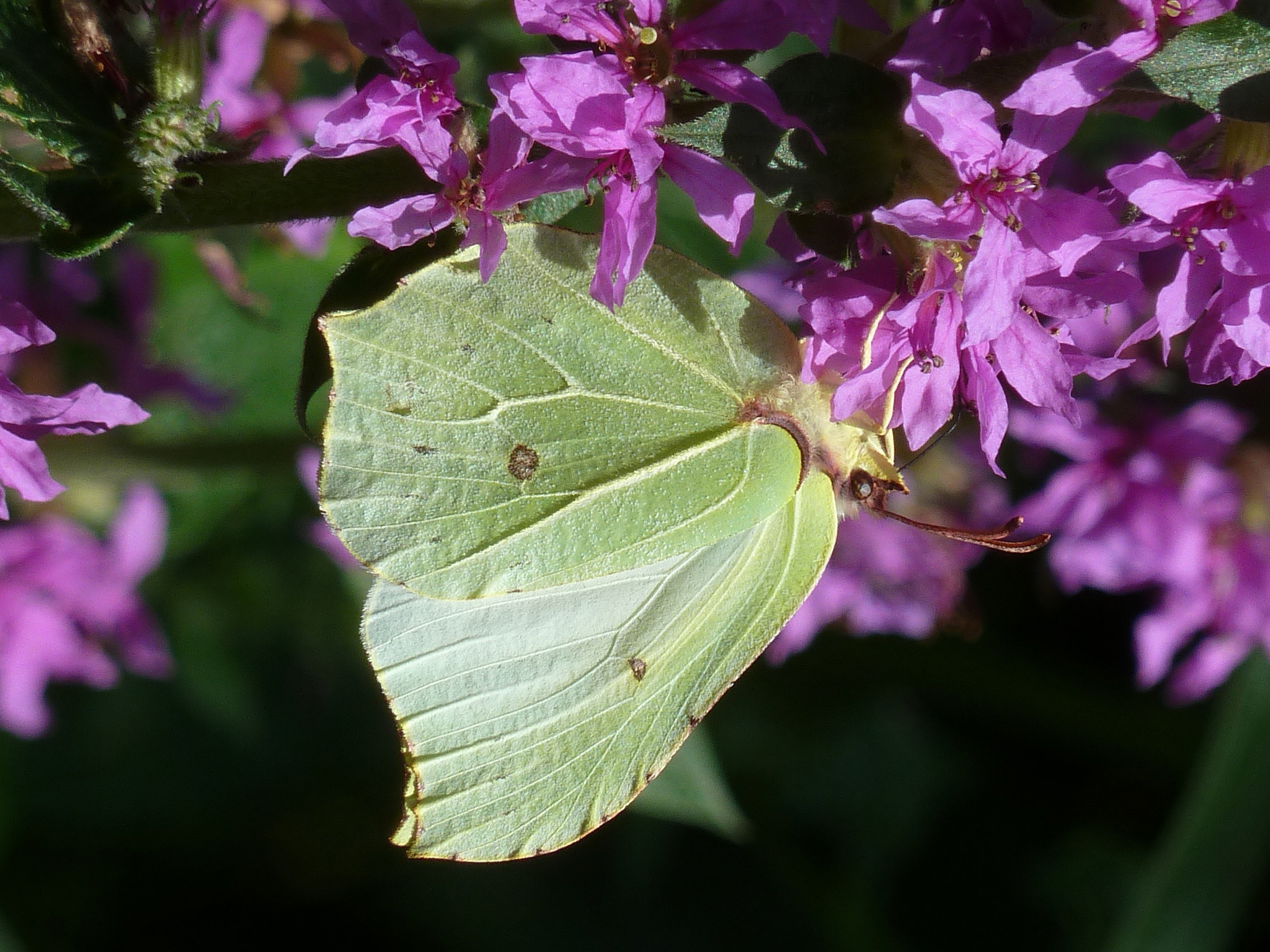 A Brimstone Butterfly (Nick Edge/ Butterfly Conservation/PA Wire)