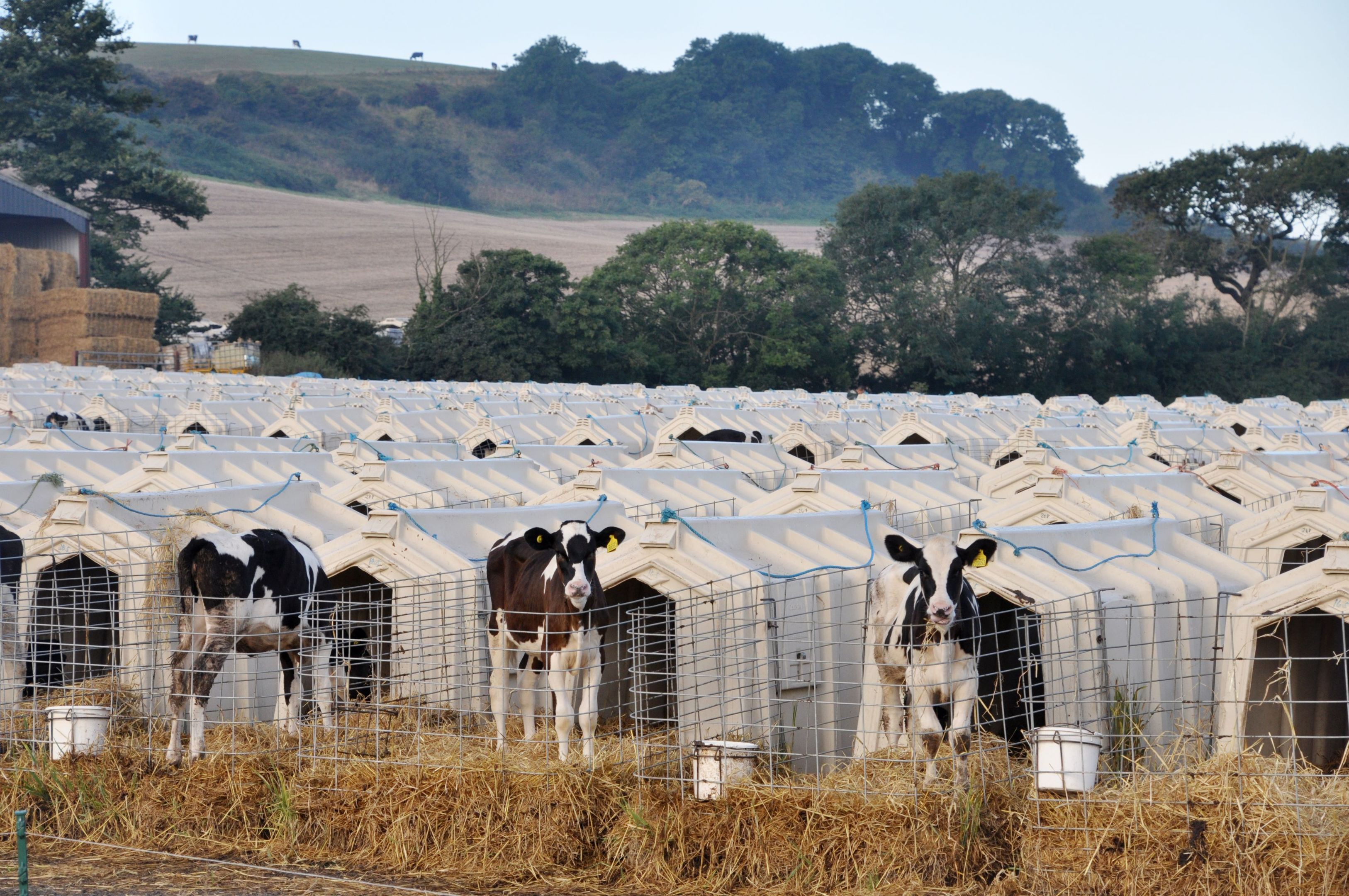 Calves penned in solitary hutches at Grange Dairy in East Chaldon, Dorset. (Animal Equality/PA Wire)