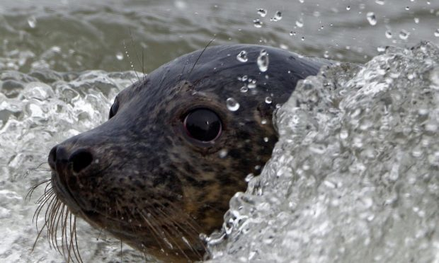 Osha the seal (Scottish SPCA)