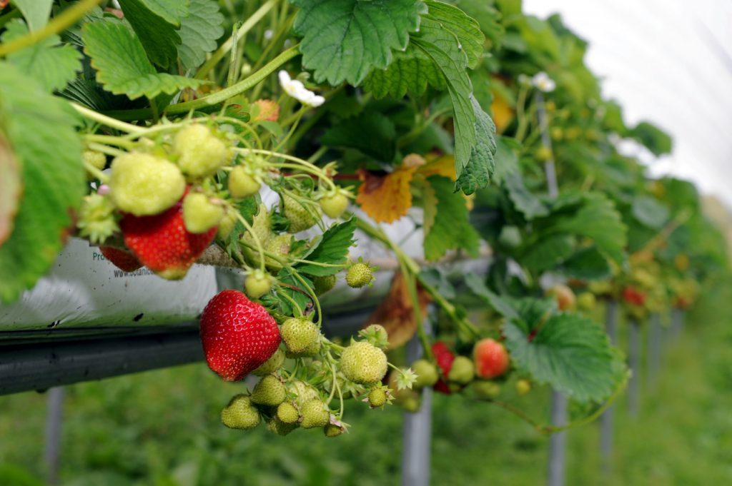 Charleton Fruit Farm owned by Karen and Rory McQuistan. Fruit picking polytunnels. (Kevin Emslie)