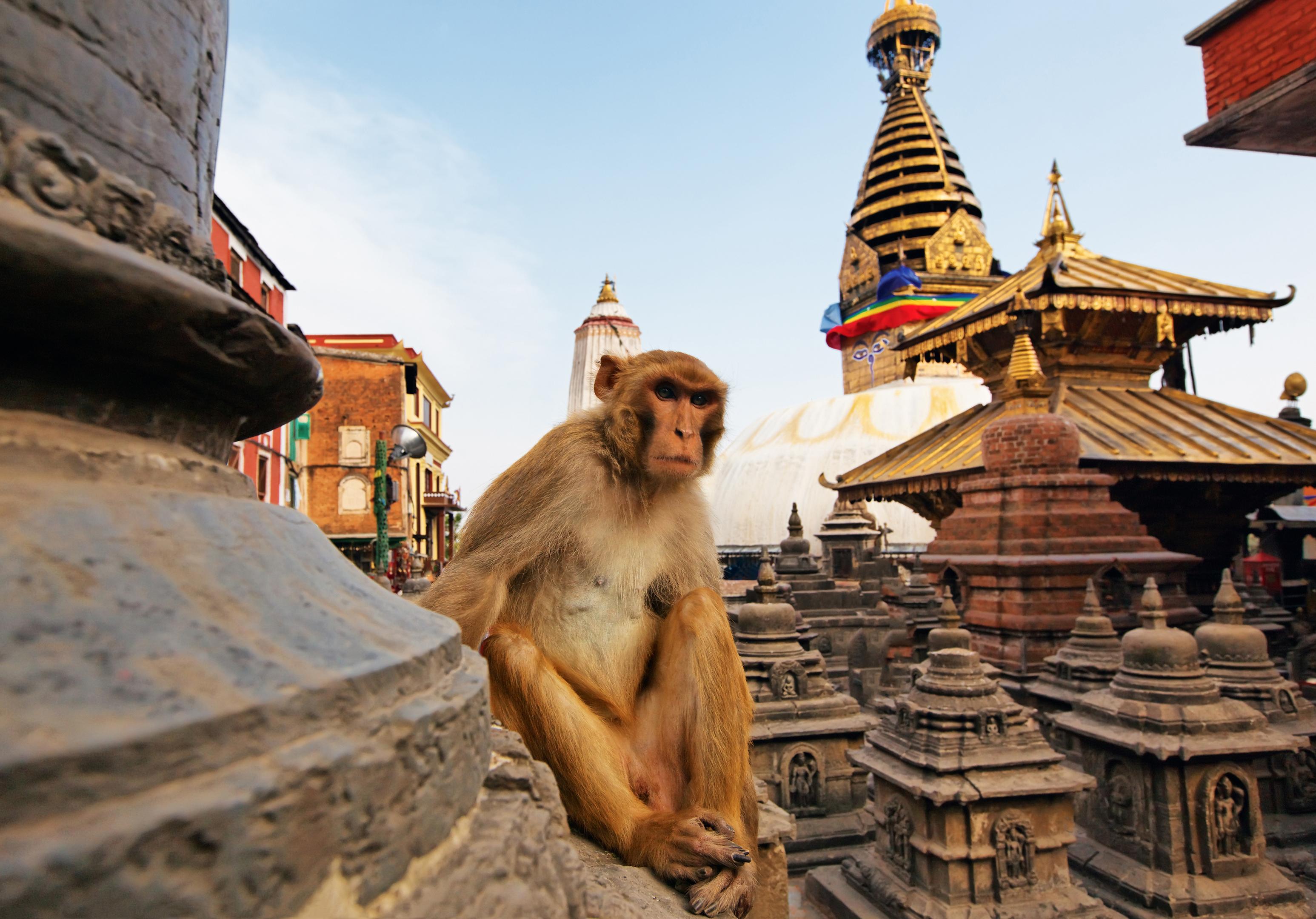 Sitting monkey on swayambhunath stupa in Kathmandu, Nepal (iStock)