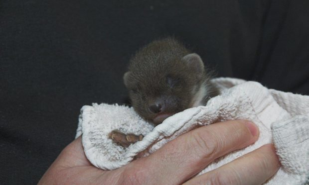 Marvel the pine marten (Colin Seddon, SSPCA)