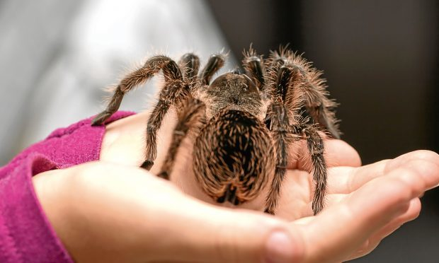A brave child holds a tarantula (Getty Images)