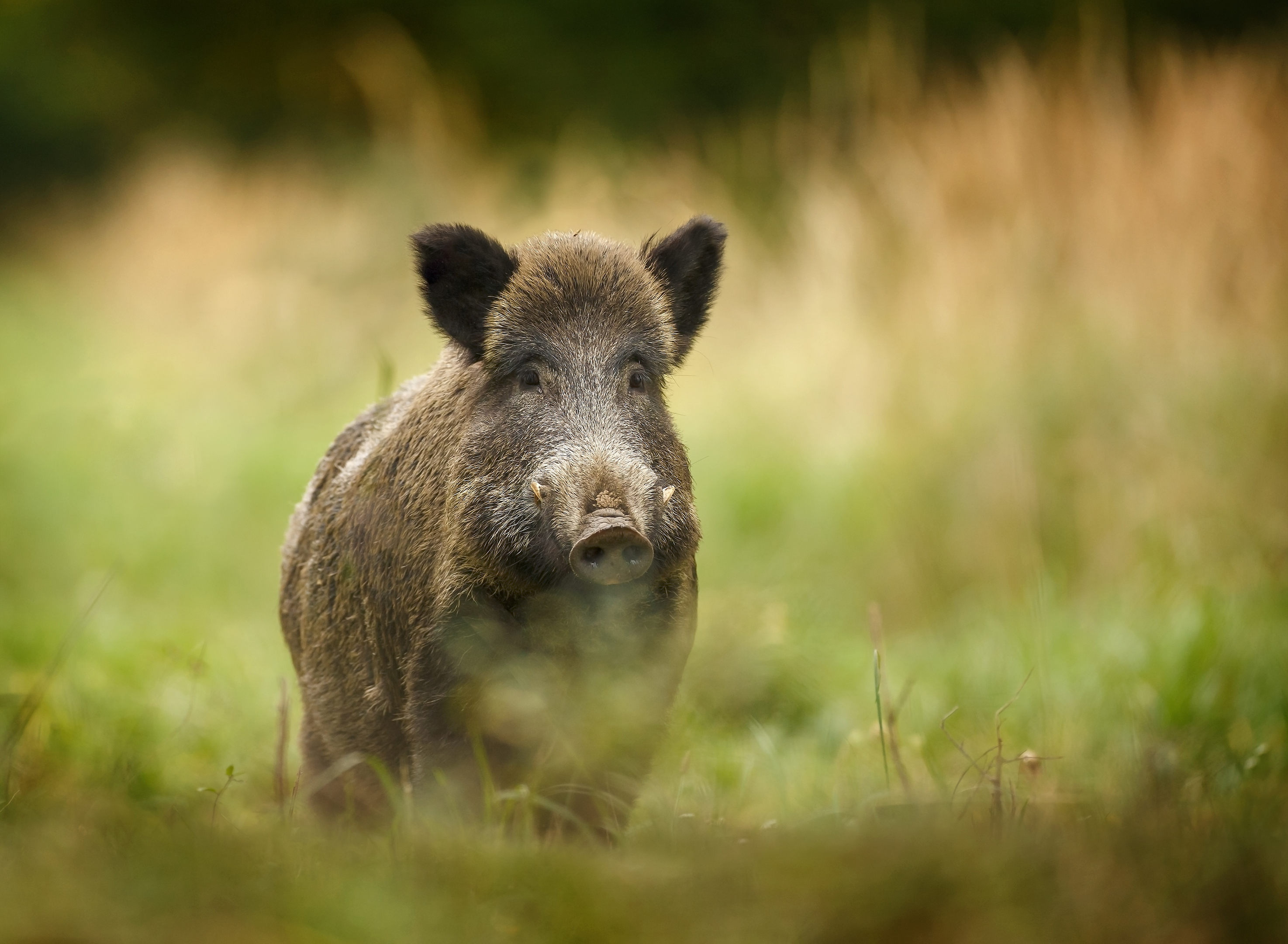 Wild boar (Getty Images)