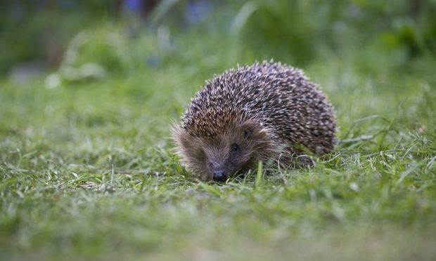 Hedgehogs were spotted in more than half of Scottish gardens last year (Eleanor Bentall, RSPB)