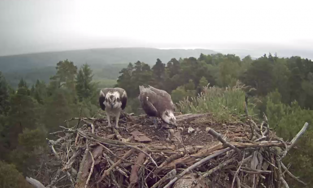 Osprey pair feeding chicks (RSPB)