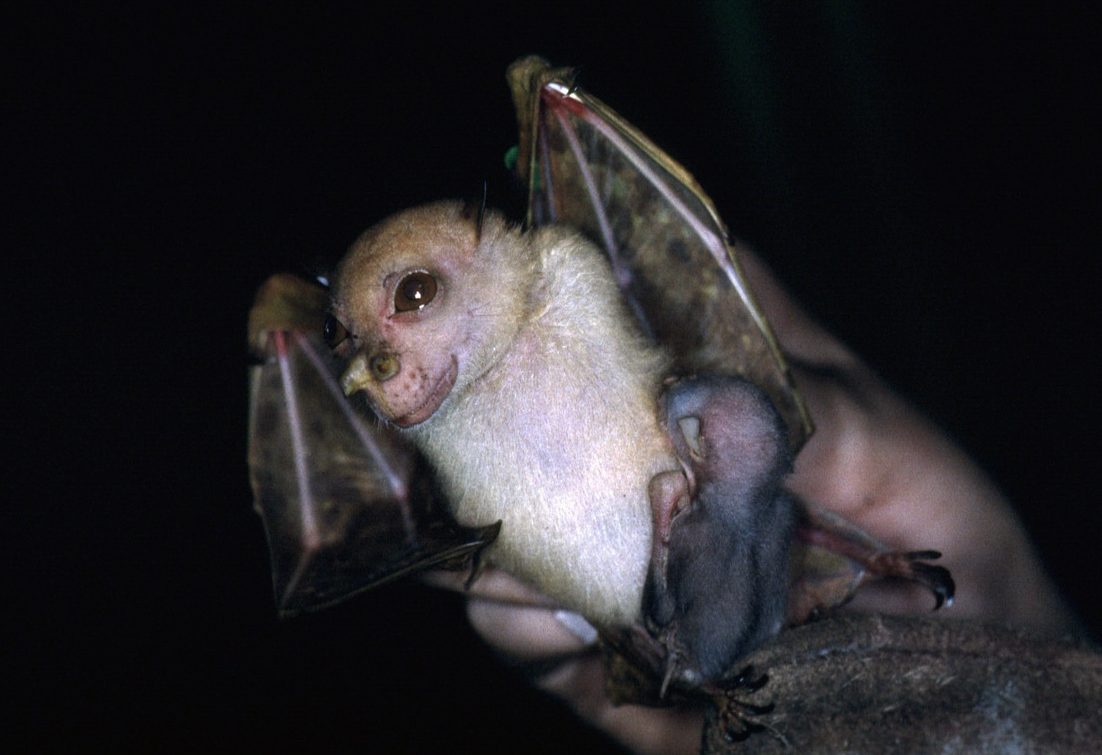 Yoda the fruit bat officially recognised as new species
