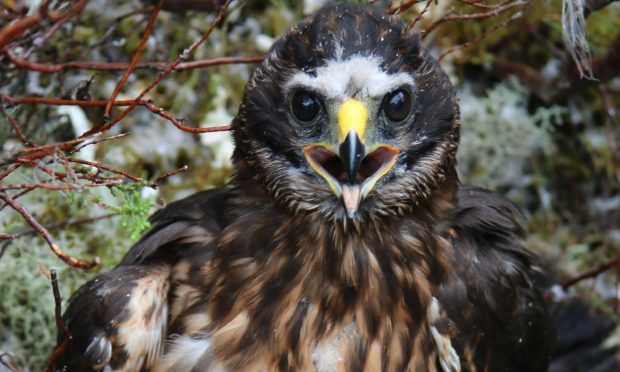 Calluna, a satellite tagged female hen harrier, who appears to have been lost when transmissions from the tag abruptly ended on August 12. (RSPB Scotland/PA Wire)