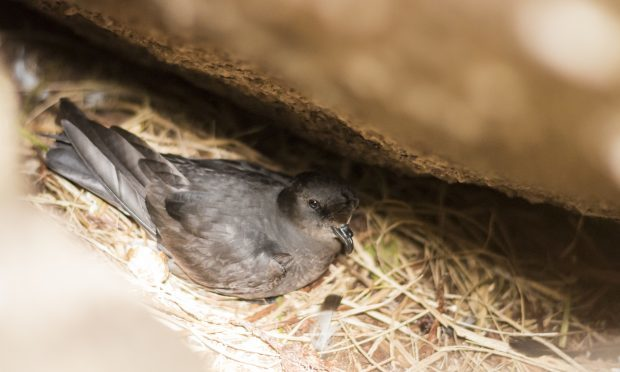 Storm petrel Hydrobates pelagicus, adult sitting on nest beneath a large boulder (Ed Marshall, RSPB Scotland)