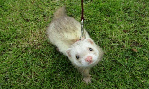 Jock the ferret (Scottish SPCA)