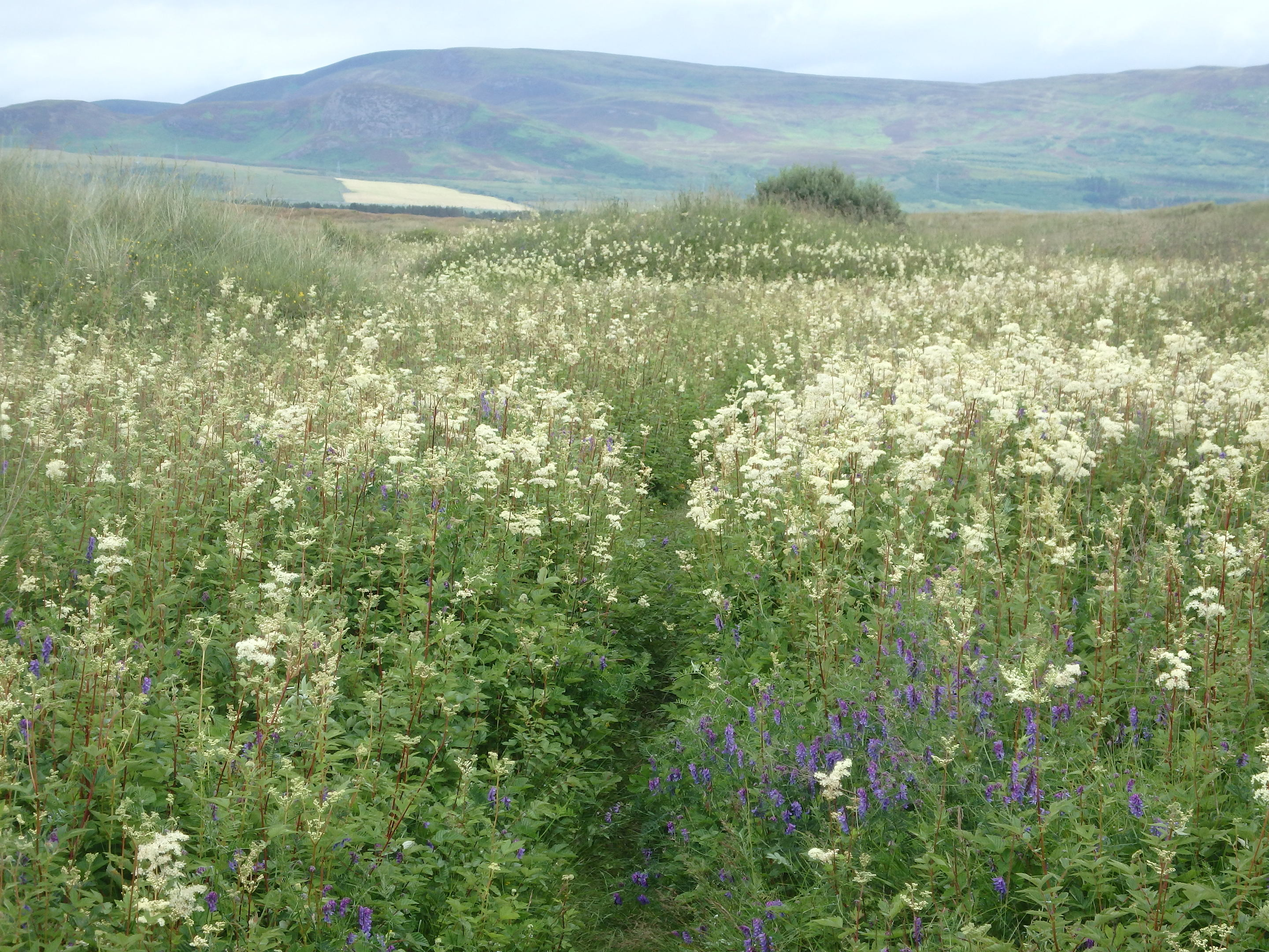 Dune slacks in summer with meadowsweet, tufted vetch and other moisture loving plants (Alison Searl/RSPB Scotland)