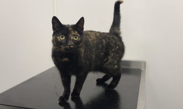 Laurie the Liverpool cat (Scottish SPCA)