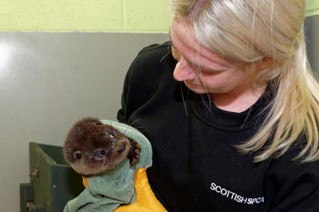 Shrimp the otter (Scottish SPCA)