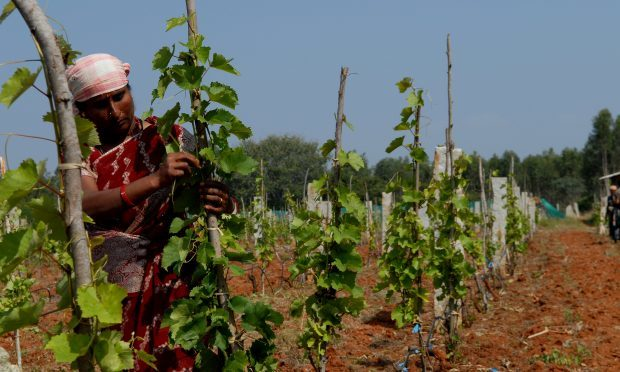 Samp Sun Vineyards, Bangalore India. (Hemant Mishra/Mint via Getty Images)
