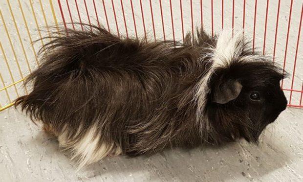 Zebi the Guinea Pig (Scottish SPCA)