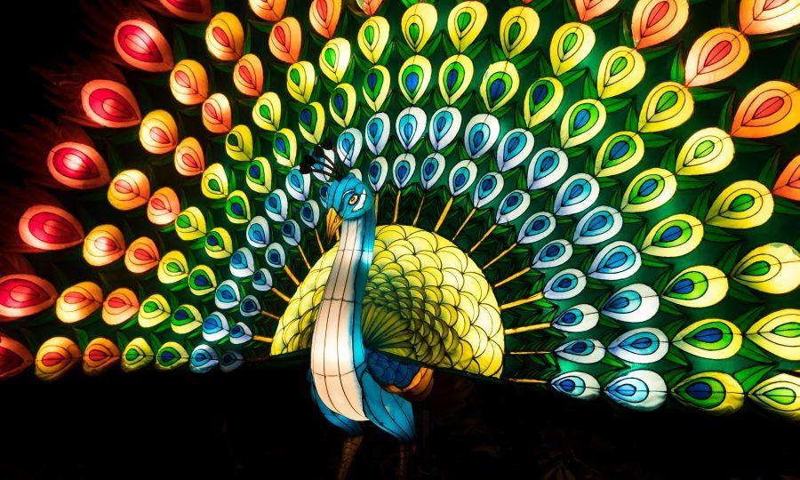 A peacock lantern at The Giant Lanterns of China exhibition at Edinburgh Zoo (RZSS)