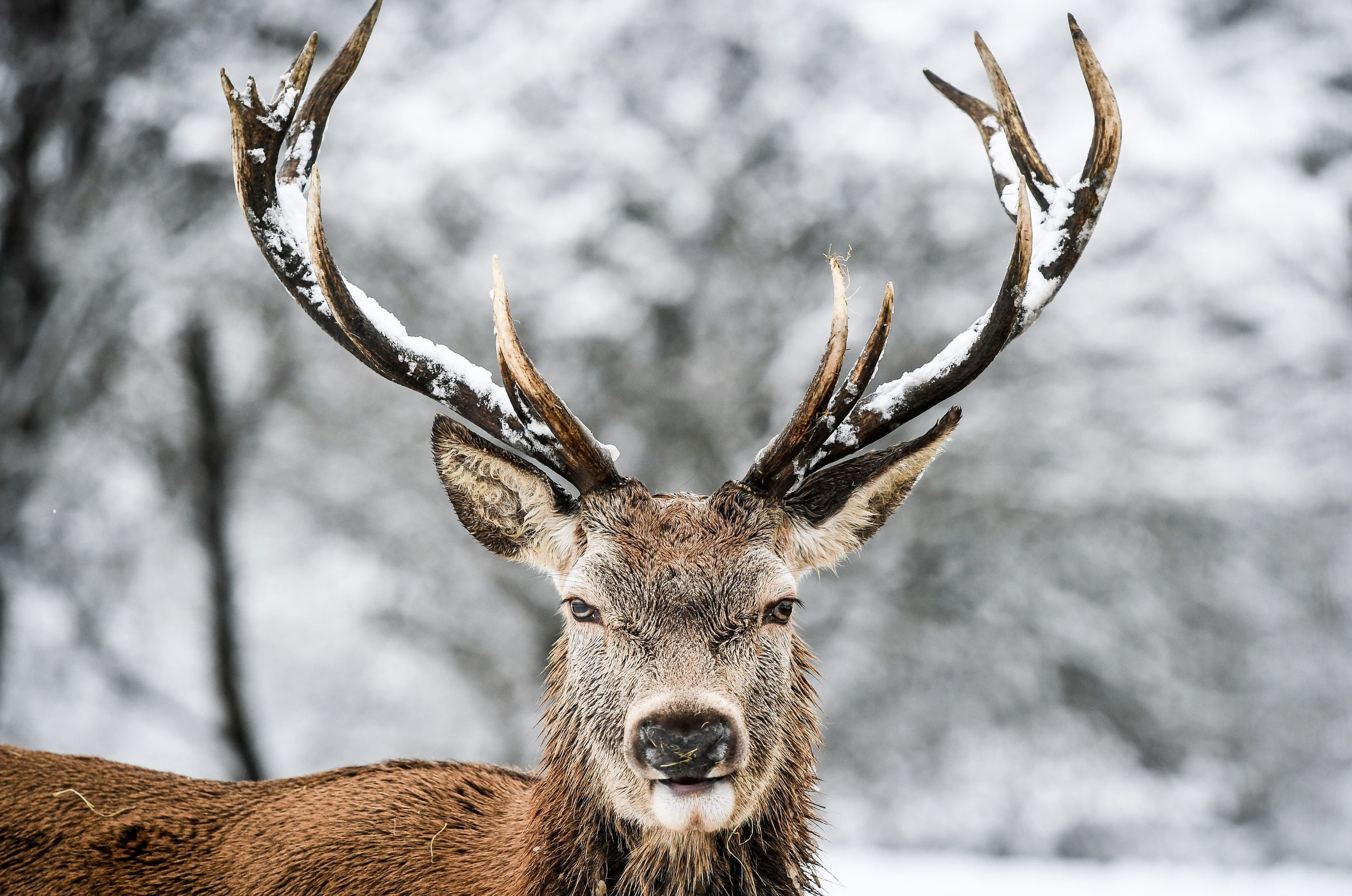 A stag in the settling snow on the Cotswold hills (Ben Birchall/PA Wire)