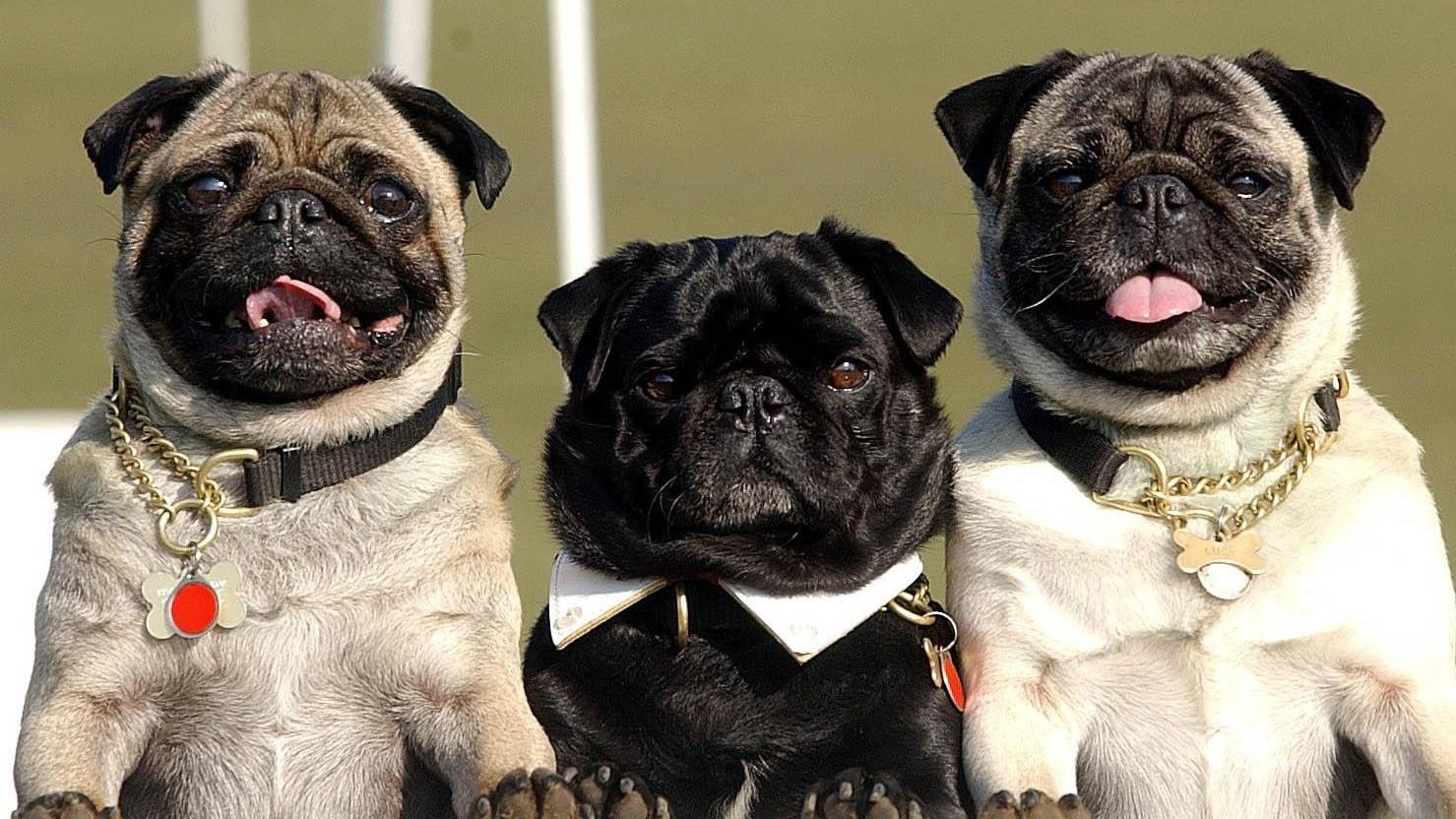 Pugs have seen a huge surge in popularity (David Jones/PA)