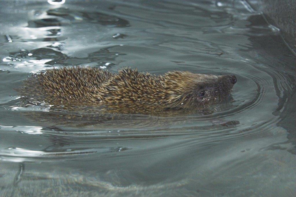 Phelps the hedgehog (Colin Sneddon)